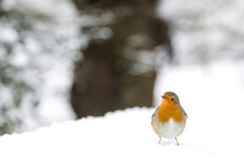 Robin In The Snow Hampstead